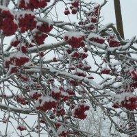 рябинка в снегу :: людмила голубцова