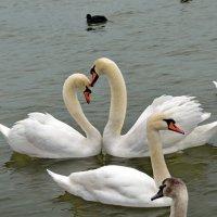 У лебедей тоже день Валентина :: Ольга Голубева