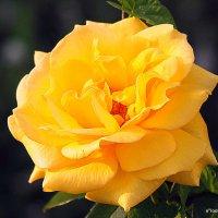 золотая и роза :: Олег Лукьянов