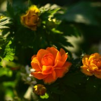 Цветут жарки :: Татьяна Соловьева