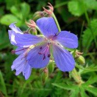 Лютики-цветочки :: Вера Щукина