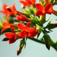 Комнатный цветок каланхоэ. :: Валентина ツ ღ✿ღ