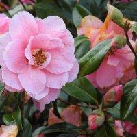 Камелия в цвету :: Natalia Harries