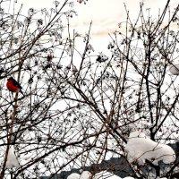 Снегири. :: Михаил Столяров