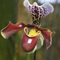 Орхидеи :: esadesign Егерев