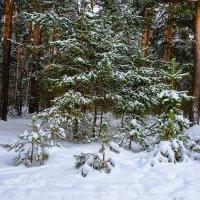 Зима в бору :: Виктор