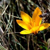 Солнечный цветок- крокус шафрановый. :: Ольга Голубева
