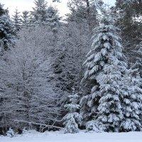 Лес в снегу :: Mariya laimite