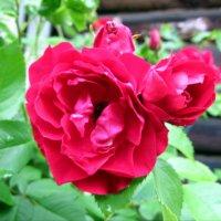 Розы :: Ирина ***