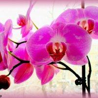 Орхидея на моём окне :: Нина Бутко