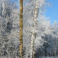 В зимнем лесу, красота февральского морозного утра :: Николай Белавин