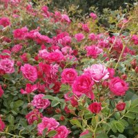 Розы ... :: Алёна Савина