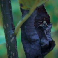 паук :: Vladislav