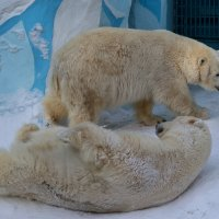Белые мишки в зоопарке :: Владимир Шадрин