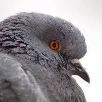 Dove portrait :: Олег Шендерюк