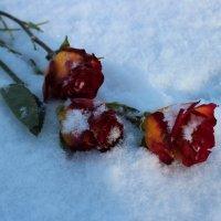Розы в снегу :: Людмила Самойлова