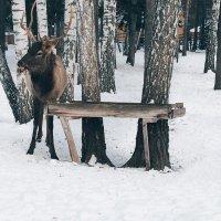 Благородный олень марал :: Kat Lapidos