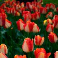 Тюльпаны в саду :: Ирина Жигулина