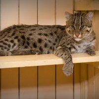 Из семейства кошачьих №1 :: Денис Огнев