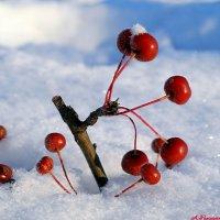 Про ранетки на снегу.. :: Андрей Заломленков