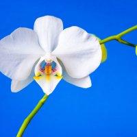 Орхидея III :: Владимир Сковородников
