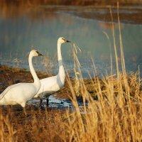 Лебеди. :: Michael Averkiev