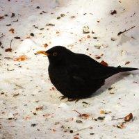 Чёрный дрозд на белом снегу :: Андрей Снегерёв