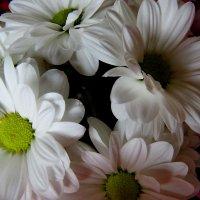 Белоснежные....хризантемы нежные. :: Светлана