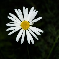 Одинокая ромашка :: Алена Малыгина