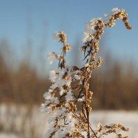 Белые цветы февраля :: Елена Перевозникова