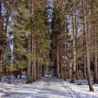 Хвойная аллея в парке. :: Пётр Сесекин