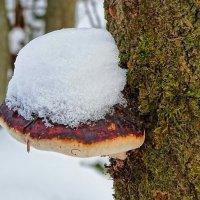 О древесных грибах :: Милешкин Владимир Алексеевич