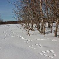 Следы на снегу. :: Галина .