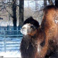 Верблюд в ростовском зоопарке :: Нина Бутко