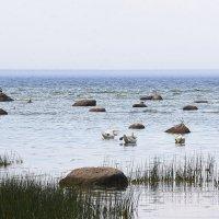 Лебеди у берегов Финского залива :: Helga Preiman