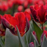 Удивительной красоты тюльпаны! :: Татьяна Помогалова