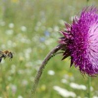 Пчела и чертополох :: Светлана Рябова-Шатунова