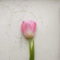 Цветы тюльпан :: Александрр Petrov