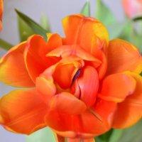 Тюльпан к празднику :: Serg