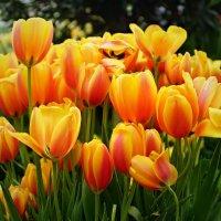 Это море тюльпанов :: Наталья Лакомова