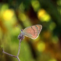 Просто бабочка :: Николай Волков