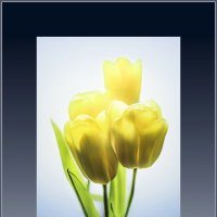 Желтые тюльпаны... :: Алексей Лебедев