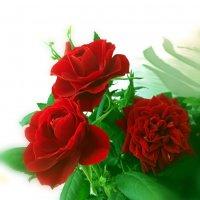 Розы-не мимозы,долго не стоят. :: Наталья Соколова