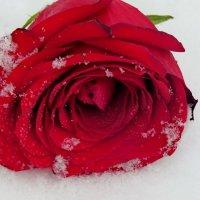 Лежала роза на снегу.... :: Светлана