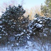 Сосенки в снегу :: Маргарита Батырева