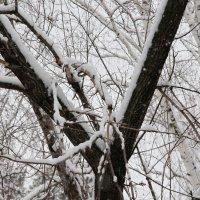 Снег на дереве :: Олег Афанасьевич Сергеев
