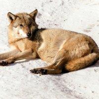 Волк :: Гульнара Шафиева