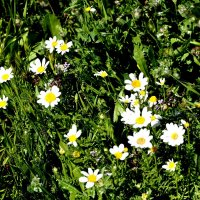 Цветы полевые :: Аркадий Басович