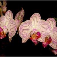 Орхидеи в Аптекарском огороде :: Galina Belugina