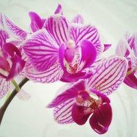 Прекрасная орхидея :: Виктория Власова